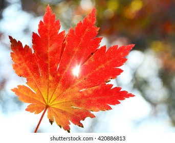 Red maple leaf, golden autumn, one leaf