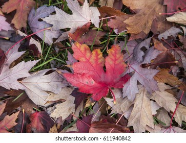 Red maple maple leaf in nature
