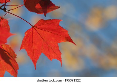 red maple leaf on branch