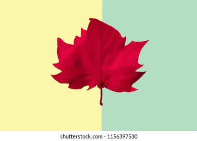 red maple leaf on a yellow and green background, close-up. Autumn Arrives. Fall Background. Flat lay