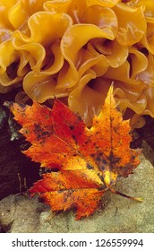 A red maple leaf with orange layered fungus