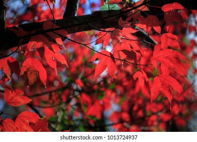 Red maple leaf at Phu Kradueng National Park of Thailand