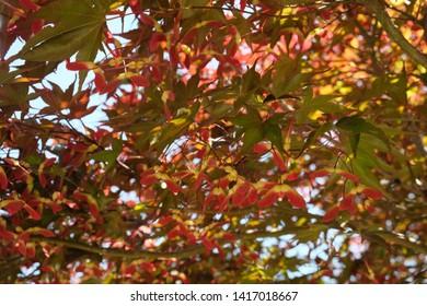 Acer Rubrum Images Stock Photos Vectors Shutterstock