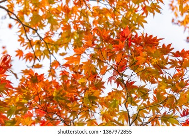 Red Maple Leaves against the sky on a blurred autumn foliage background at Koko-en Garden in Himeji, Japan.