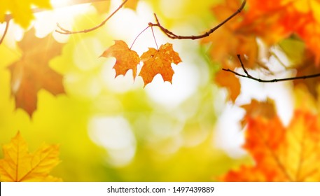 red maple leaves in autumn with beautiful sunlight