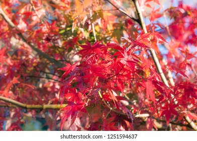 Red maple leaves in autumn on a branch at Yagizaki Park in Fugikawaguchiko, a resort town in the neigbourhood of the Mount Fuji, Japan.