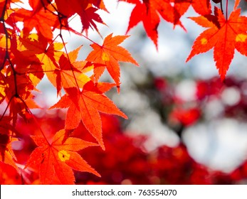 red maple leaves in autumn in the park
