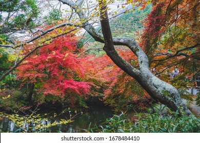 Red maple leaves in autumn season  taken from Japan