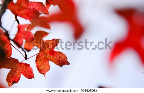 The red maple leaves in autumn season