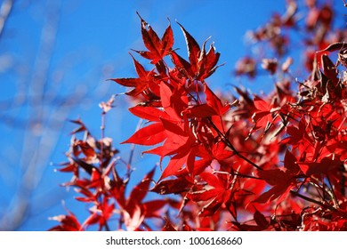 Red maple leaves with blue sky