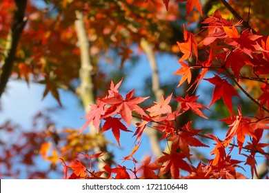 Red maple leaves during Autumn with sunlight and blue sky, Branches of red  autumn leaves