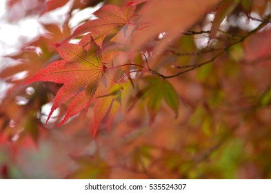 Red maple leaves during Autumn season in natural walking trail in Washington state, USA. The photo depicts beautiful fall foliage nature.