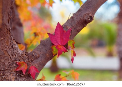 Red maple and leaves in the garden