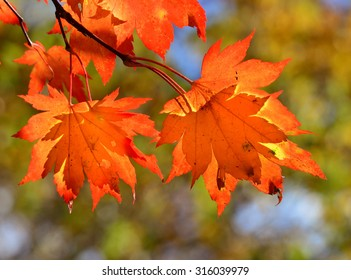 Red maple leaves, golden autumn, autumnal scene, Orange foliage, autumnal branch of tree against green tree