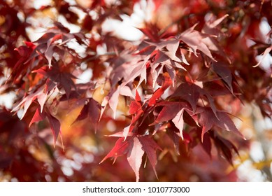 Red maple leaves of late autumn