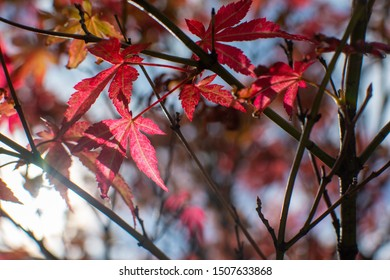 Red maple leaves lit by the sun on autumn day
