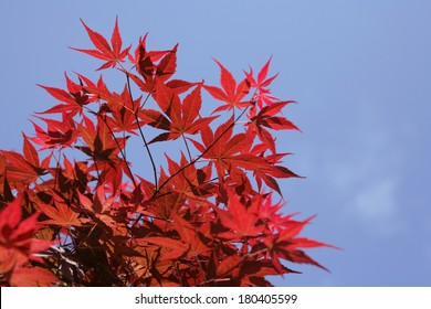 Red maple leaves on blue sky background