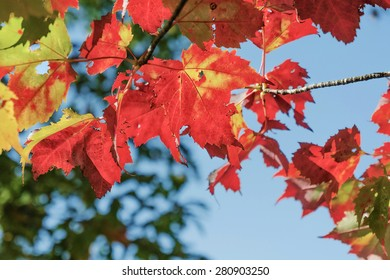 Red maple leaves on blue sky background. Symbol of autumn