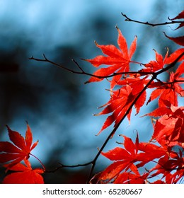 Red maple leaves on a sunny autumn day