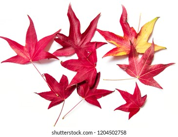red maple leaves on a white background. the coming of autumn. Concept, seasons.