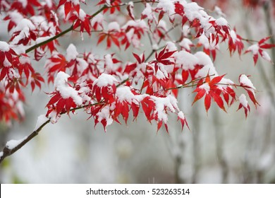 Red maple leaves in snowing in winter garden. Heavy snow is drifting/falling.