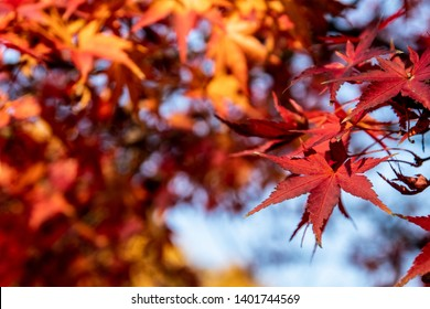 Red maple leaves in sunset's rays