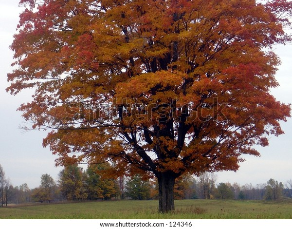 Red Maple in middle of misty midwestern field