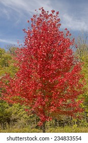 A Red Maple Tree in Fall Colors in Backbone State Park in Iowa