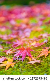 Red maple tree fall in the garden with golden sunlight and blurred background, Japan Red maple leaves/ branches in autumn season isolated on white background