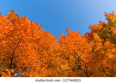 Red maple tree with golden sunlight and blue sky background, Japan Red maple leaves/ branches in autumn season isolated on white background