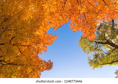 Red maple tree with golden sunlight and blue sky background, JapanRed maple leaves/ branches in autumn season isolated on white background