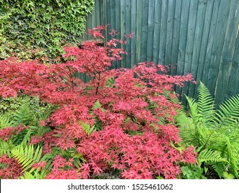 Red maple tree and green ferns in a garden