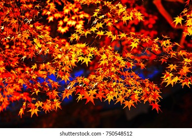 Red Maple Tree Leaves in autumn of Japan