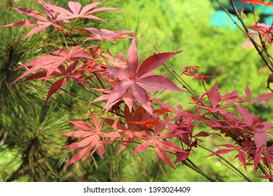 red maple tree in spring
