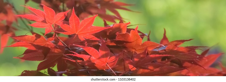 Red maple tree spring leaves in the sun