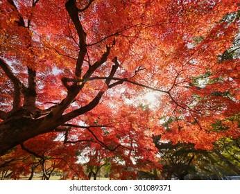 Red maple tree under sunlight background