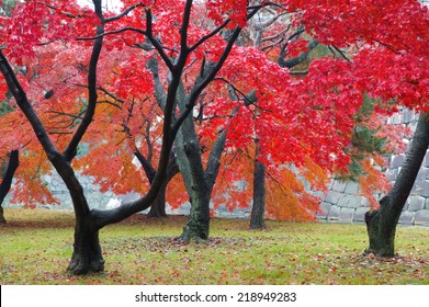 The red maple trees in japanese garden