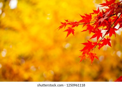 Red maple with yellow background