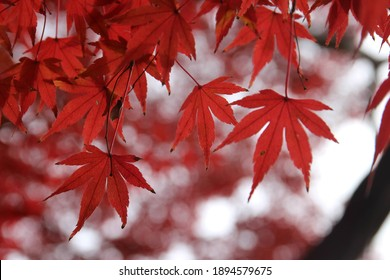 Red maples in a cloudy day