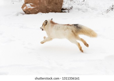 Red Marble Fox (Vulpes vulpes) Bounds Away to Left Winter - captive animal