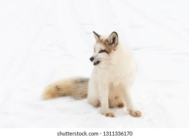 Red Marble Fox (Vulpes vulpes) Sits in Snow Facing Left Winter - captive animal
