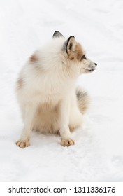 Red Marble Fox (Vulpes vulpes) Sits in Snow Looking Right Winter - captive animal
