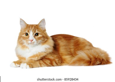 Red marble mixedbred cat lying isolated on white and looking almost in camera