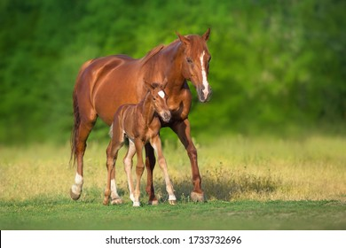 Red mare and foal grazing on spring green  meadow