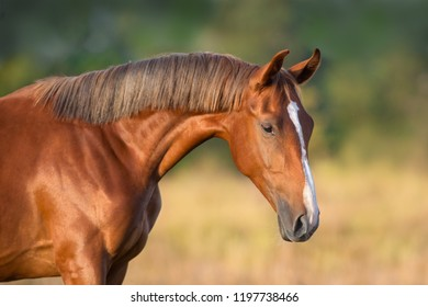 Red mare portrait close up outdoor