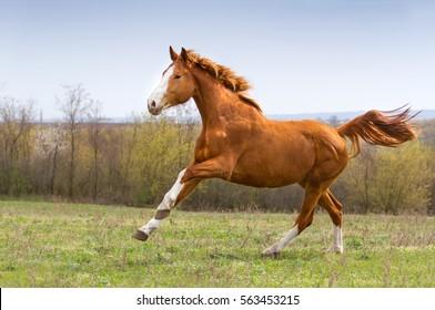 Red mare run gallop on field