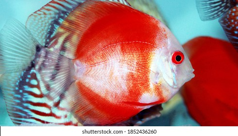 Red Marlboro Discus fish - (Symphysodon sp.)