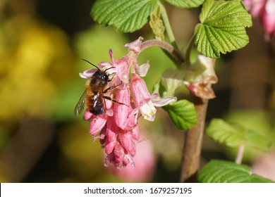A red mason bee (Osmia bicornis) family Megachilidae on the flowers of a Ribes sanguineum, the flowering currant or redflower currant. In spring, Bergen. Netherlands, March 21, 2020.