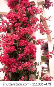 Red Mediterranean Flowers Climbing a White Wall