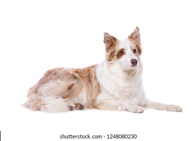 Red merle border collie in front of a white background
